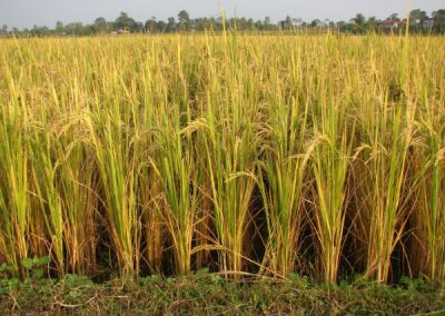 Agriculture: Rice crop in the Chitwan Valley (2010)